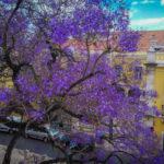 Jakarandy – najpiękniejsze drzewa ulic i placów Lizbony już kwitną [Zdjęcia]