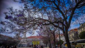 Jakaranda mimozolistna Lizbona Portugalia Lisboa jacaranda drzewo o fioletowych kwiatach kwitnie foto